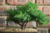 Bonsai Tree 4